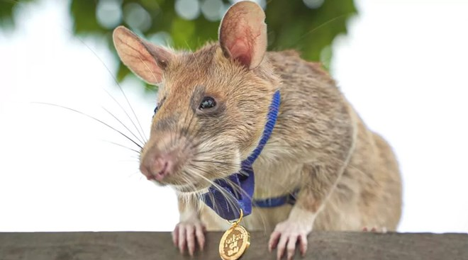 Now that's the face of a proud rat. Apopo